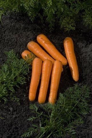 Нантский Концерто F1 семена моркови нантской (Vilmorin / Вильморин) Концерто_F1_семена_овощей_оптом.jpg