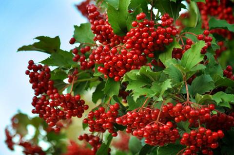 Калина красная плоды