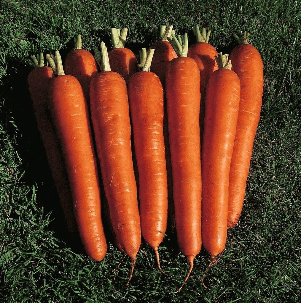 Нантский Мирна F1 семена моркови нантской (Seminis / Семинис) Мирна_семена_овощей_оптом_семена_овощей_оптом_семена_овощей_оптом_семена_овощей_оптом.jpg