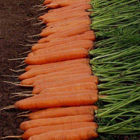 Нантская Монанта семена моркови нантской (Rijk Zwaan / Райк Цваан) Монанта_семена_овощей_оптом.jpg