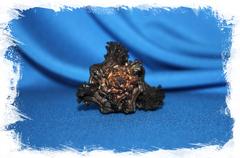 Chicoreus brunneus, Опаленный мурекс, Мурекс бруннеус
