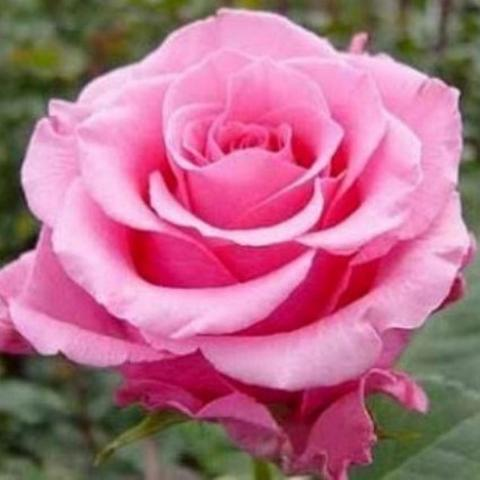 Роза чайно-гибридная Балет