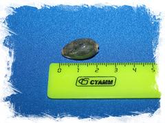 Ципрея бимакулата (Cypraea bimaculata)