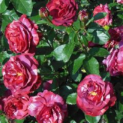 Роза плетистая Брауни