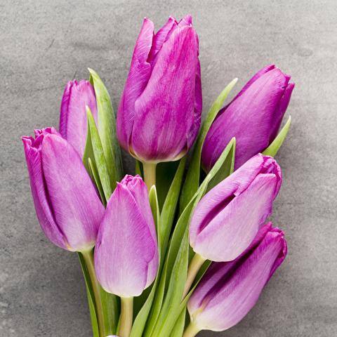 Тюльпаны пурпурные от 9шт