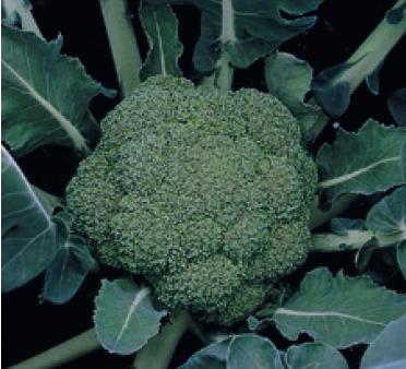 Брокколи Монтоп F1 семена капусты брокколи (Syngenta / Сингента) монтоп.PNG