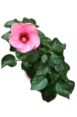 Гибискус колокольчик  - розовый