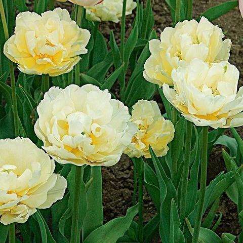 Тюльпан Верона 5 шт