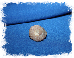 Трохус хистрио (Trochus histrio)