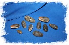Морские ракушки Олива Ретикулята