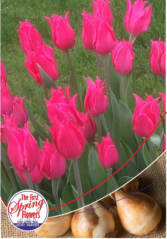 Тюльпан Лилиецветный  Pretty Love (Притти Лав) Нидерланды 3 шт