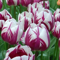 Тюльпан Триумф