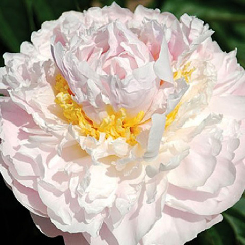 Пион Fragrant Bouquet