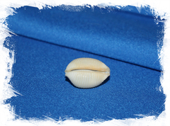 Коллекционная ракушка Ципрея чилдрени, Cypraea (ipsa) childreni