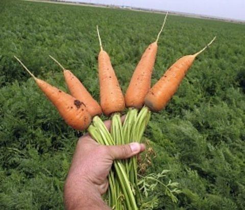 Clause Ред кор семена моркови курода/шантане (Clause / Клос) Ред_Кор__2__семена_овощей_оптом.JPG