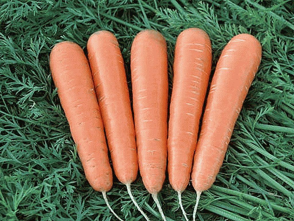 Нантский Маэстро F1 семена моркови нантской (Vilmorin / Вильморин) Маэстро_F1_семена_овощей_оптом_Sakata_Enza_Zaden_Seminis_Rijk_Zwaan_Nunhems_Vilmorin_Clause_Bejo.jpg