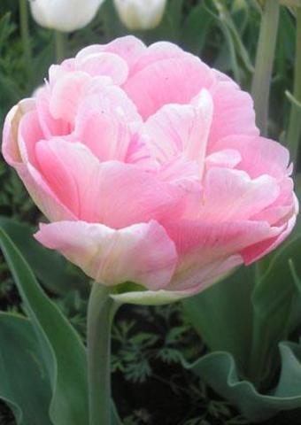 Тюльпан махровый поздний Анжелика