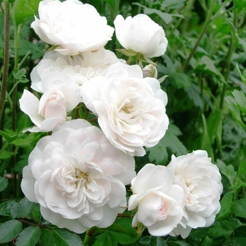 Роза почвопокровная Свани, Мейланд