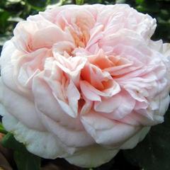Роза парковая Клэр Роуз