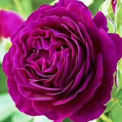 Роза флорибунда Эбб тайд