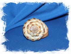 Sea shell Cantharus melanostoma, Кантарус меланостома, Ракушка Черноустый Кантарус