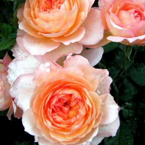 Роза парковая Андре Тюрка