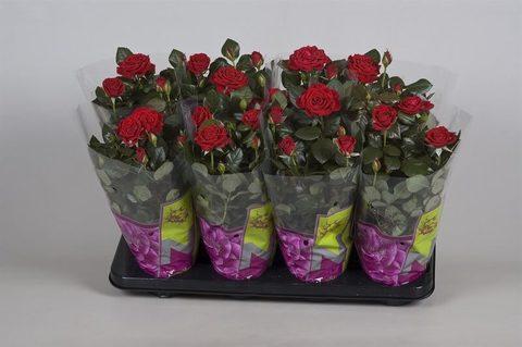 Роза Патио красная Изабель