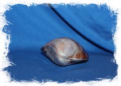 Декоративная морская ракушка перламутровая