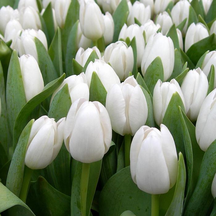 Букет 101 белый тюльпан