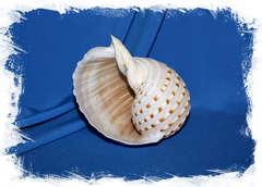 Морская ракушка Tonna dolium