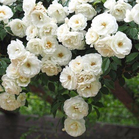 Роза плетистая Шнивитчен