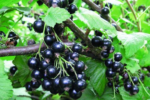 Смородина черная Селечинская (в тубе)