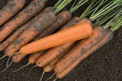 Экстремо F1 семена моркови нантской (Vilmorin / Вильморин)