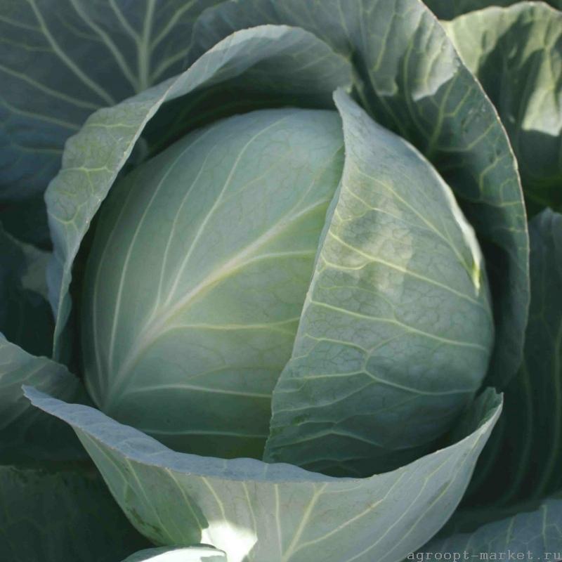 Белокочанная Структура F1 семена капусты белокочанной (Hazera / Хазера) структура.jpg