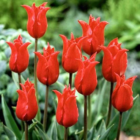 Тюльпан Лилиецветный Претти Вуман
