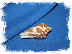 Конус амадис (Conus amadis castaneofasciatus)