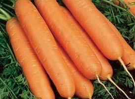 Нантский Юкон F1 семена моркови нантской (Syngenta / Сингента) Юкон_F1_семена_овощей_оптом.jpg