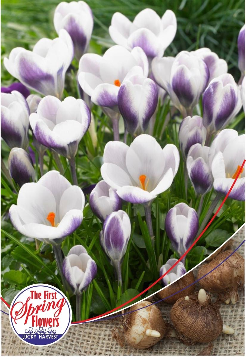Луковицы Крокуса ботанического  Prins Claus  (Принц  Клаус)  TM Jan de Wit en Zonen B.V. (количество в упаковке 5 луковиц)