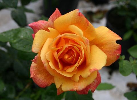 Роза чайно-гибридная Шаттер'з Голд