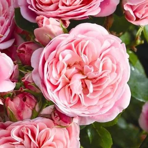 Купить Роза флорибунда Байяндо
