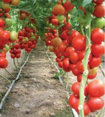 Лилос F1 семена томата индетерминантного (Rijk Zwaan / Райк Цваан)