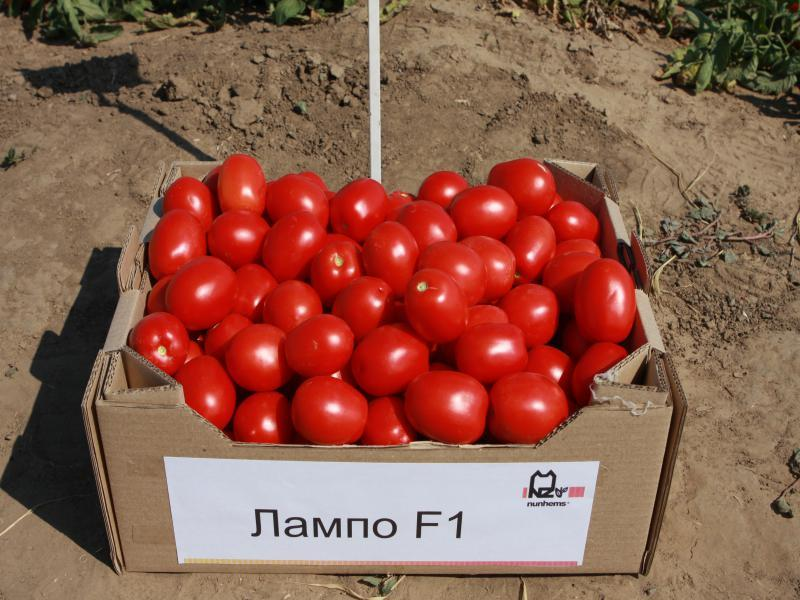 Nunhems Лампо F1 семена томата детерминантного (Nunhems / Нюнемс) Лампо_F1-min.jpg