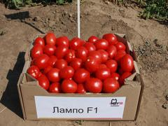 Лампо F1 семена томата детерминантного (Nunhems / Нюнемс)
