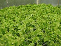 Орфей семена салата листового (Гавриш)