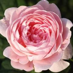 Купить Роза английская Квин оф Шведен