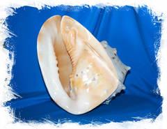 Морская раковина для декора
