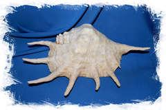 Коллекционная раковина Lambis truncata, Обрубленный лямбис, Ламбис трунката
