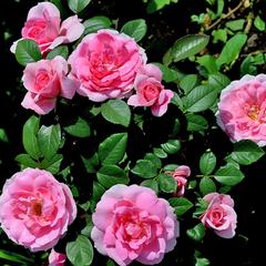 Роза парковая Прэйри Джой