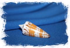 Конус Генералис (Conus generalis)