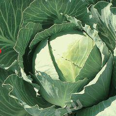 Пластун F1 семена капусты белокочанной (Гавриш)